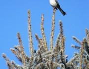 Mbird Christmas treetop